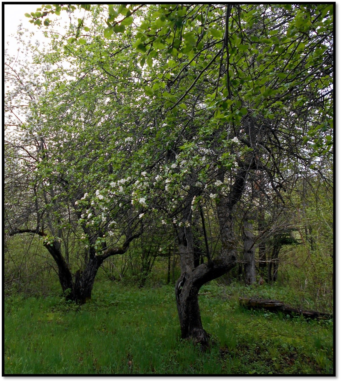 Duchess of Oldenburg apple trees May 25 2015 Established 1906-1910 Section 21 33695 Milligan Road Salmo WI
