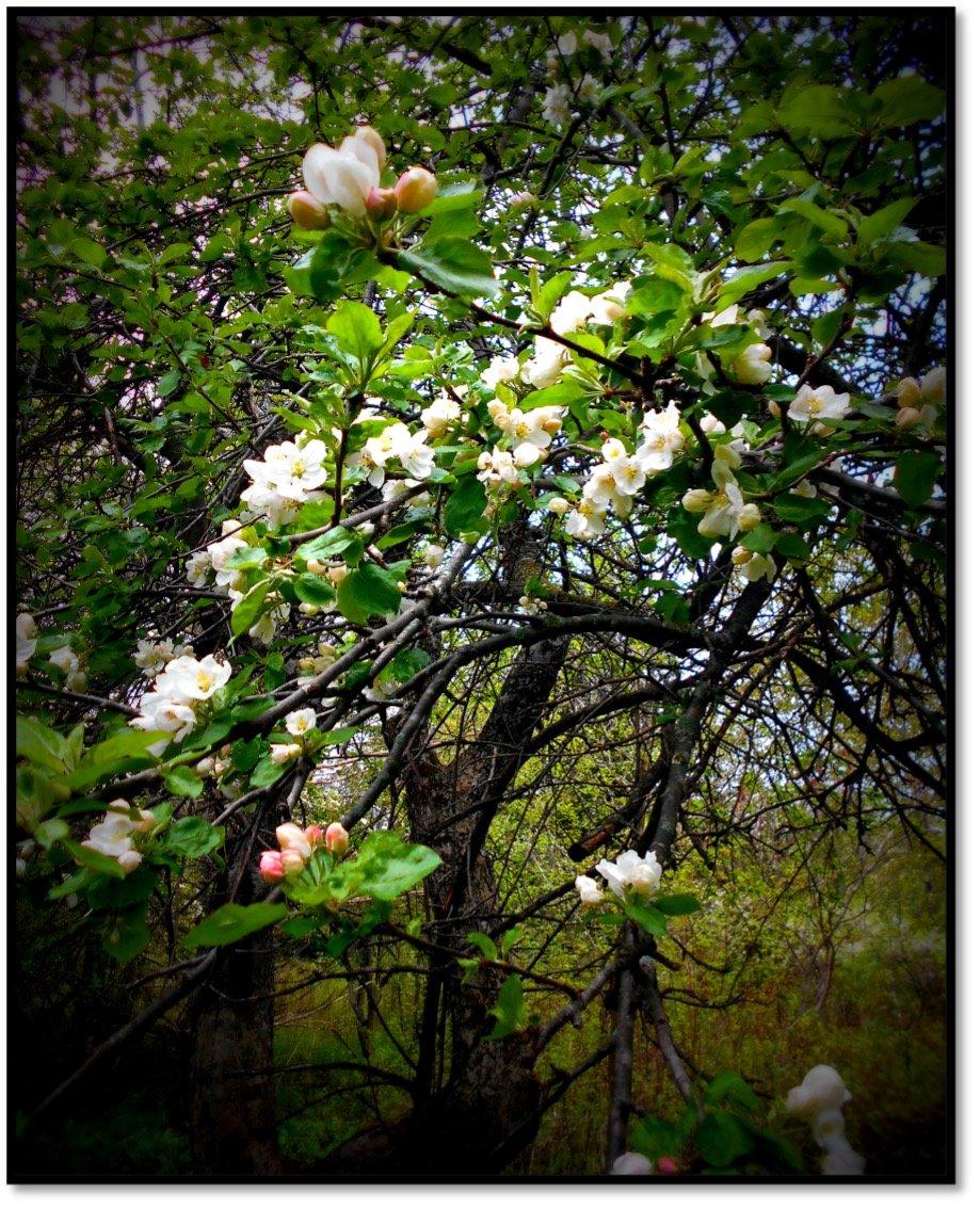 Oldenburg Duchess Apple Tree in Bloom